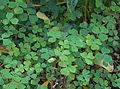 Oxalis tuberosa - Parc Floral.jpg