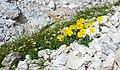 Pütia papaver alpinum pavé da mont Val Badia.jpg