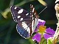 P1680544 Ωραία πεταλούδα.jpg
