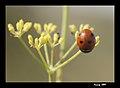 PN del Garraf - Simetría de siete puntos - seven-spot ladybird (4061836383).jpg