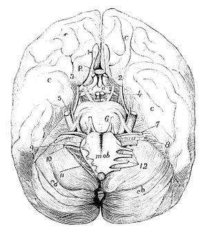 PSM V14 D499 The base of the brain.jpg