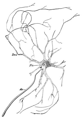Motor nerve - Motor nerve of Ox