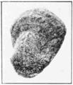 PSM V72 D312 Pupa of feniseca.png