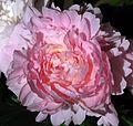 Paeonia 'Madame Calot' (cut flower) 03.jpg