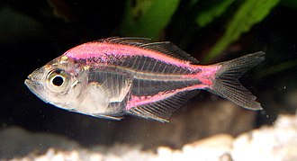 Painted fish - Painted Parambassis ranga specimen. A needle was used to inject the pink dye in this example.