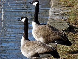 Pair of Canada Geese by lake in Lexington Ceme...