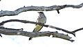 Pallid Cuckoo (Cacomantis pallidus) (31363579685).jpg