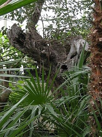 Palmenhaus Schönbrunn - The 350-year-old olive tree