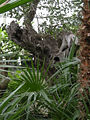 Palm house (Schönbrunn) 350 years old olive tree 20080212.jpg