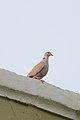 Paloma de Collar, Eurasian Collared Dove, Streptopelia decaocto (11915881834).jpg
