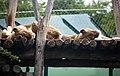 Panthera leo Zoo Schönbrunn 2018.jpg