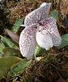 Paphiopedilum godefroyae OrchidsBln0906b.jpg
