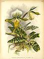 Paphiopedilum lawrenceanum v viride.jpg