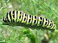 Papilio machaon 13.2.53.jpg