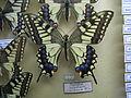 Papiliomachaonasiatica.JPG