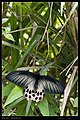 Papilionidae (10779648195).jpg