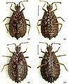 Paralibiocoris limuensis (10.3897-zookeys.789.26165) Figures 60–63.jpg