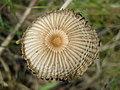 Parasola hercules (Uljé & Bas) Redhead, Vilgalys & Hopple 215239.jpg