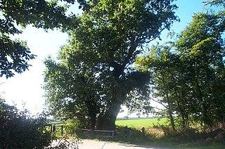 Parliament Oak Tree in England