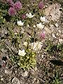 Parnassia palustris03.jpg