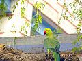 Parrot Bhoodha Ka Bas.JPG