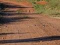 Peaceful dove town bypass road Burke River floodplain Boulia Queensland P1060561.jpg