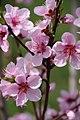 Peach blossom (4526387051).jpg