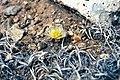 Pediocactus simpsonii ssp bensonii fh 61 5 UT B.jpg