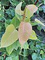 Peepal leaf image2.jpg