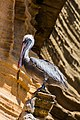 Pelícano pardo de las Galápagos (Pelecanus occidentalis urinator), Punta Pitt, isla de San Cristóbal, islas Galápagos, Ecuador, 2015-07-24, DD 81.JPG