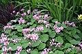 Pelargonium cordifolium 7zz.jpg