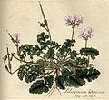 Pelargonium myrrhifolium var. myrrhifolium B531.jpg