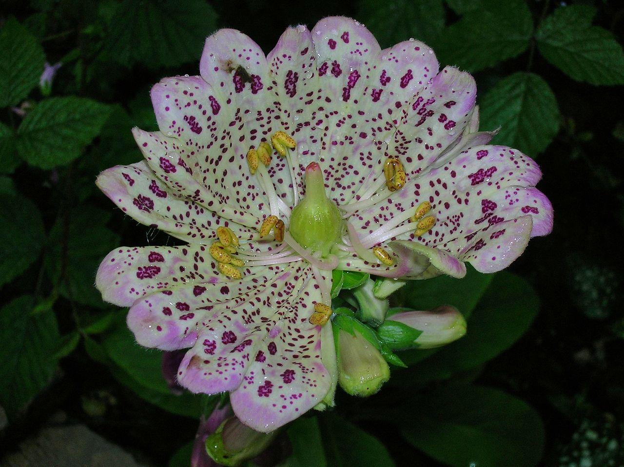 File Peloric Foxglove flowers JPG Wikimedia mons
