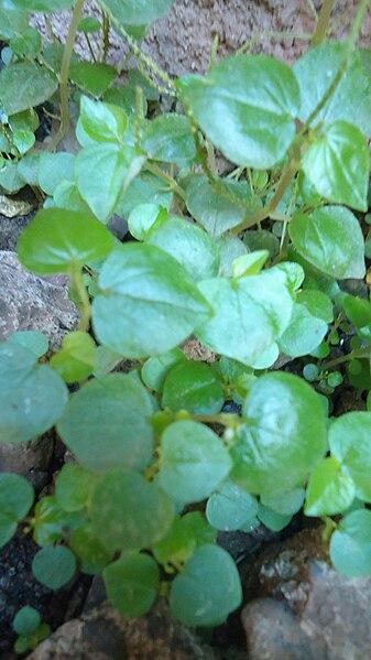 File:Peperomia pellucida.jpg