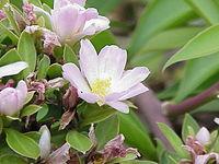 Pereskia grandifolia2