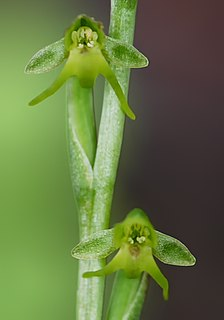<i>Peristylus</i> genus of plants in the family Orchidaceae