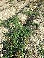 Persicaria amphibia sl2.jpg
