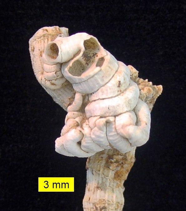 Petaloconchus Cyprus Pliocene