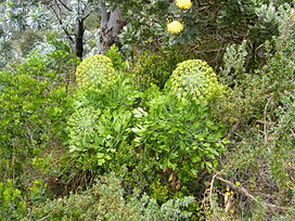 Peucedanum galbanum Blister bush Table mt.JPG