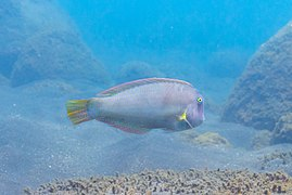 Pez peine (Xyrichtys novacula), Madeira, Portugal, 2019-05-31, DD 34.jpg
