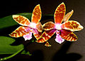 Phalaenopsis mariae Orchi 005.jpg