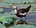 Pheasant-tailed Jacana (Hydrophasianus chirurgus)- Breeding in an Indian Lotus (Nelumbo nucifera) Pond in Hyderabad, AP W IMG 7860.jpg