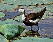 Pheasant-tailed Jacana (Hydrophasianus chirurgus)- Breeding in an Indian Lotus (Nelumbo nucifera) Pond in Hyderabad, AP W IMG 7860