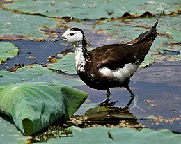 Pheasant-tailed Jacana (Hydrophasianus chirurgus)- Breeding in an Indian Lotus (Nelumbo nucifera) Pond in Hyderabad, AP W IMG 7860