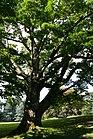 Phellodendron amurense JPG2a.jpg