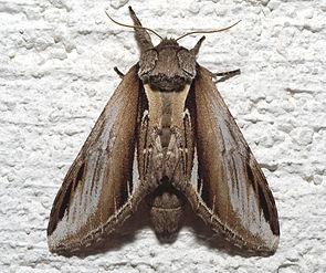 Birken-Zahnspinner (Pheosia gnoma)