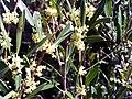 Phillyrea angustifolia DehesaBoyaldePuertollano3.jpg