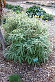 Phlomis fruticosa - San Luis Obispo Botanical Garden - DSC05886.JPG
