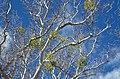 Phoradendronmacrophylla-azsyca.jpg