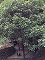 Photinia serratifolia in Tonglingshan.jpg